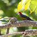 Jamacian Woodpecker