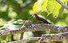 Jamacian Woodpecker (_BirdsTheWord_) Tags: nature 70d canon jamaica sans souci birds canonef40056l