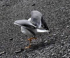 Yeaaaaah (annibale barone) Tags: gabbiano seagull gull mare sea estate summer sole sun spiaggia beach gravel ghiaia grigio grey yeaaaaah asana yoga