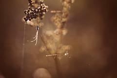 Wie ich ein klein wenig bedauerte, dass die Gliedmaßen meines eigentlichen Models nicht auch von der Sonne durchleuchtet werden konnten. (Manuela Salzinger) Tags: sommer summer abend evening sonnenuntergang sunset bodensee lakeconstance markelfingen see lake spinne spider