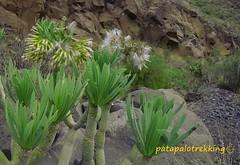 Detalle de la flor y hojas jóvenes (patapalotrekking) Tags: verode