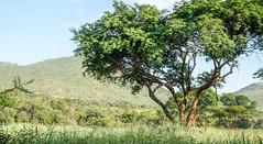 Landscape with acacia tree in Pilanesberg, South Africa (Knud Hald) Tags: 2017 africa fuji fujixt10withfujinonxf1855mmf284rlmois fujinonxf1855mmf284rlmois honeyuiderangerscamp knudhald limpopo outdoor pilanesberg pilanesbergsouthafrica2017 safari southafrica wildlife ngc acaciatree botany trees beautiful landscape fujix nature nationalgeographicsociety naturelover naturewatcher 500v20fav
