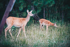 Edit -1-12 (Dane Van) Tags: deer fawn doe ccr canadacreekranch puremichigan atlantamichigan evening canon5d 5dclassic 35mm