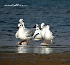 DSC00809 Black-headed Gull (Chroicocephalus ridibundus) (vlupadya) Tags: greatnature animal bird aves fauna indianbirds blackheaded gull chroicocephalus kundapura karnataka