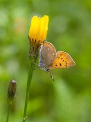 Cuivré de la verge-d'or (sosivov) Tags: sweden butterfly insect macro yellow scarcecopper