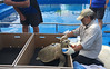 Lightning was quite the energetic sea turtle while getting her GPS tag (USFWS Pacific Southwest Region) Tags: oliveridley seaturtle wildlife sealife rescue threatenedspecies tag gpstag usfishandwildlifeservice usfws region8 r8