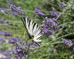 Machaon butinant de la lavande (Missfujii) Tags: papillon lavande insecte champs nature provence lavandes plante faune machaon