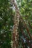 Jabuticaba flowering (Plinia cauliflora) (Tatters ✾) Tags: mtcoottha coottha mcbgb botanicgardens plinia pliniacauliflora myrtaceae whiteflowers myrciariacauliflora cauliflorous