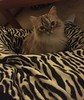 STRIPES (kelsey61) Tags: cats cat pet pets animal animals kitty kitten kitties kat katze kot gato gatto gattokat gatos feline felines chat
