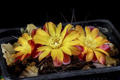 Sulcorebutia steinbachii v. tiraquensis kk870 (clement_peiffer) Tags: sulcorebutia steinbachii v tiraquensis kk870 flowerscolors d7100 105mm cactaceae succulent peiffer clement nikon cactus fleurs flower spines epines kaktusi кактуси