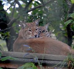 Eurasian Lynx (Laura.Kerr) Tags: lynx lynxlynx eurasianlynx northernlynx kitten cub bigcats bigcat wildcats highlandwildlifepark