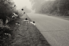 We waited for the fog to lift (citrusjig) Tags: fuji xe1 supertakumar28mmf35 blackandwhite toned coneflower road fog
