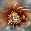 Peony (Explore) (Pixel Fusion) Tags: peony flower flora nature macro nikon d600
