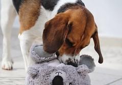 Lucky and his friend 4 (LuckyMeyer) Tags: hund haustier dog beagle jagdhund weiss braun schwarz white brown black friend