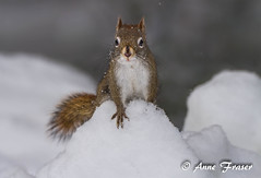 Posing pretty in the snow (Anne Marie Fraser) Tags: snow animal squirrel redsquirrel winter nature wildlife cute posing snowing