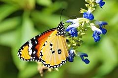 Danaus Plexippus - Monarque (Pomerol) Tags: ngc flickrunitedaward animal nature papillon jaune orange macro da 300mm eye vert pentax k3 beaute beauté beauty butterfly couleur insecte wildlife color bordeaux green bokeh life