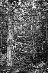 Parc National des Grands-Jardins (bob august) Tags: 2017©rpd'aoust août arbre bw blackwhite canada charlevoix d90 été landscape nature nikkor1735mm nikon nikond90 noiretblanc parcnationaldesgrandsjardins sapin tree