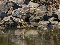 Green Heron Fishing (Scott Alan McClurg) Tags: animalia ardeidae aves bvirescens butorides chordata neognathae neornithes pelecaniformes animal autumn bird delaware fall life march nature naturephotography outdoors perching photography portrait wetlands wild wildlife