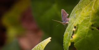 Damaged butterfly  Madrona Marsh Torrance California 041