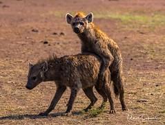 NKN_0924-3_tn (UmitCukurel) Tags: greatmigration zebra lion lioness africa masimara crocodile giraffe hyena hunt wildlife nikon d500 wildebeest river maratriangle thomsongazelle impala topi maraboustork vulture camp