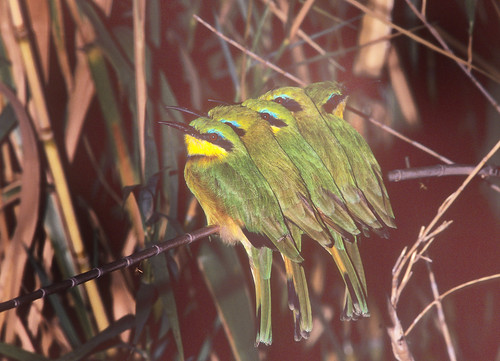 Little Bee-eater, roosting on reed, next to Okovango River , 0799