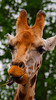P7300574.jpg (Jeff Haywood) Tags: jeffsphoto chesterzoo animals upton england unitedkingdom gb