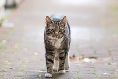 The cat in the alley (CapMarcel) Tags: the cat alley seems have good sight although it has kind eye problem walking towards you