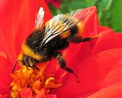 """Bee Love"" (seanwalsh4) Tags: beelove redflower insect honeybee hive honey happy nice cute lovely buzz delightful pollen flowers 7dwf wednesdaysmacroorcloseup beutifull red love nectaristhefoodoflove sweet"