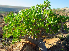 tylecodon paniculatus - richtersveld, south africa