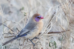 180A0198.jpg (donnatopham) Tags: botswana violetearedwaxbillfemale chobe