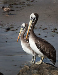 A Pair of Pelicans (kate willmer) Tags: birds pelican beak beach sand rock lima peru wildlife