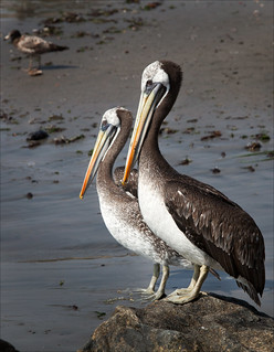 A Pair of Pelicans