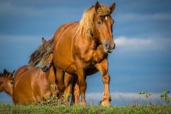 Shiny H2 (DuD82) Tags: horse nature animal naturepark croatia nikond3300 nikon 300mm lonjskopolje