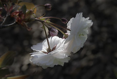 _MG_8279 (chazheng) Tags: cherry blossom flower beautiful floral fantasy attraction closeup flickr beauty bokeh macro canon fullframe love colorful nature garden