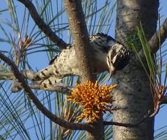 Nuttall's Woodpecker--Picoides nuttallii (Polioptila caerulea) Tags: femalenuttallswoodpecker nuttallswoodpecker picoidesnuttallii picoides blackswan nevadacounty california nuwo
