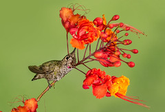 Anna's Hummbingbird (Eric Gofreed) Tags: annashummbingbird arizona birdofparadise hummingbird mybackyard sedona villageofoakcreek
