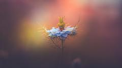 Nigella (Dhina A) Tags: sony a7rii ilce7rm2 a7r2 samyang 135mm f20 f2 samyang135mmf20 bokeh bokehlicious smooth soft creamy nigella loveinthemist flower