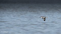500_2635.jpg (Laurent LALLEMAND) Tags: kenya coraciiformes continentsetpays afrique baringo oiseaux alcedinidae alcyonpie martinpêcheurpie cerylerudis africa ke ken