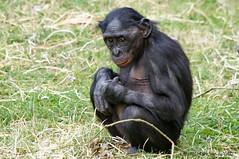 It Wasn't Me !!! (DirkVandeVelde on and off) Tags: europa europ europe belgie belgium belgica belgique buiten biologie antwerpen anvers antwerp animalia animal mechelen malinas malines muizen mammalia planckendael park planckendaal bonobo mensapen primates primaten sony outdoor fauna zoo zoogdieren