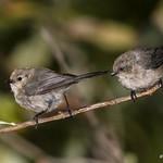 Male and Female Bushtits thumbnail