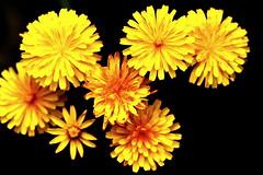 Bouquet de Pissenlit (Christian Chene Tahiti) Tags: yellow plante extérieur smileonsaturday blackattheback canon 7d pissenlit flower nouvellezélande newzealand