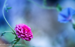 and then ? What's up ? (frederic.gombert) Tags: flower zinnia color pink blue light summer garden plant macro nikon d810