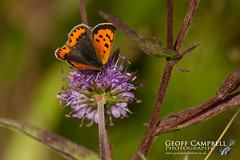 Small Copper (Lycaena phlaeas) (gcampbellphoto) Tags: lycaenaphlaeas smallcopper insect invert butterfly nature wildlife macro northantrim gcampbellphoto