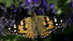 Butterfly_SAF2030 (sara97) Tags: butterfly copyright©2017saraannefinke endangered insect missouri nature outdoors photobysaraannefinke pollinator saintlouis towergrovepark