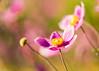 Japanese Anemones (mclcbooks) Tags: flower flowers floral macro closeup japaneseanemone anemones denverbotanicgardens colorado pink fall