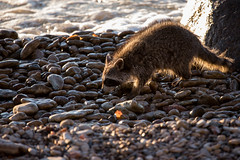 "a ""rock"" 'n raccoon (Mr. Gee) Tags: camera 2017 gullharbour hecla heclaisland lakewinnipeg lighthouse shore sunrise water waves"