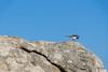 Bird (Adrià Páez) Tags: bird pájaro animal sky cielo rock roca finisterre galicia galiza fisterra spain a la coruña peninsula península iberian ibérica españa europa europe canon eos 7d mark ii