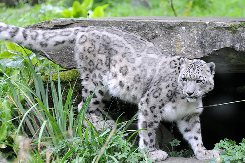 snow leopard Planckendael