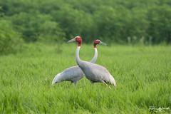 Sarus cranes (mathewindelhi) Tags: crane bird redhead birds birdphoto pose birdphotography india delhi dhanauri pair love indianbirds indiapictures