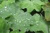 Holehird - alchemilla mollis (Annie-Sue Jyelra) Tags: holehird ladysmantle
